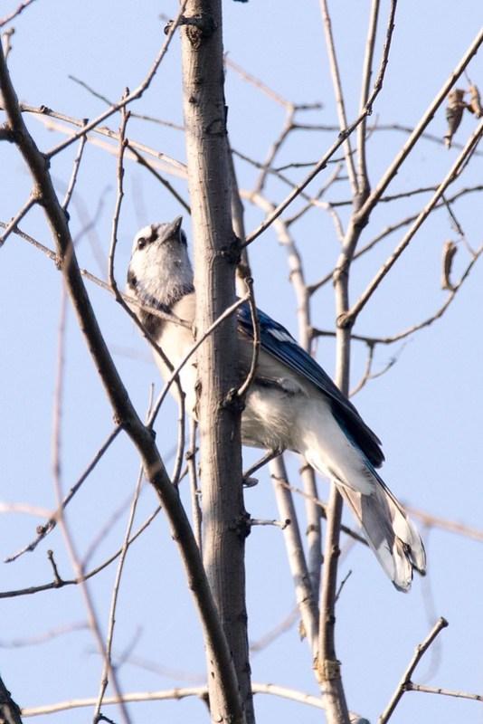 _DSC9361 Blue Jay