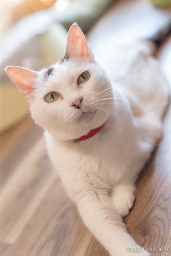 アトリエイエネコ Cat Photographer 35998161000_f5dbf64734 保護猫カフェかぎしっぽ