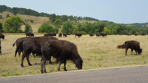 Buffalo at Custer State Park