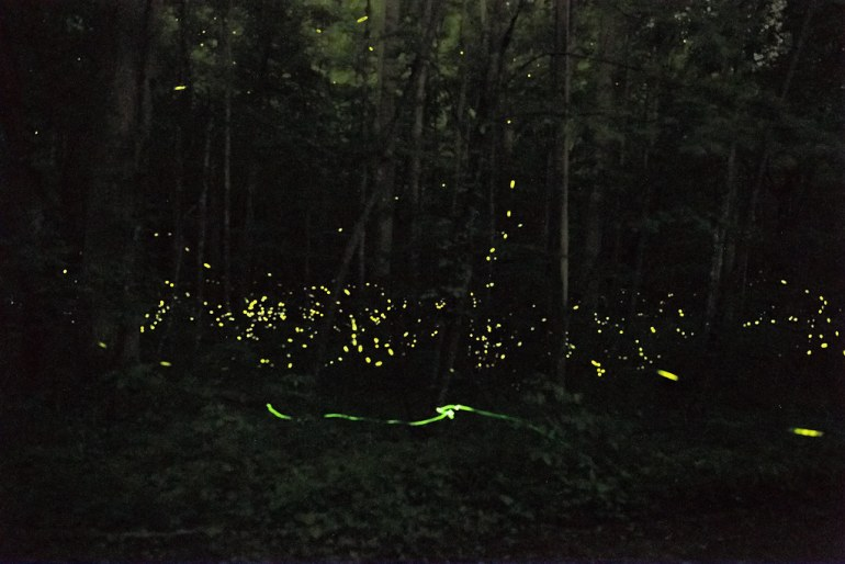 great smoky mountains fireflies