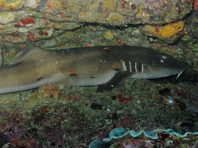 Brownbanded Bamboo Shark at Manta Bay