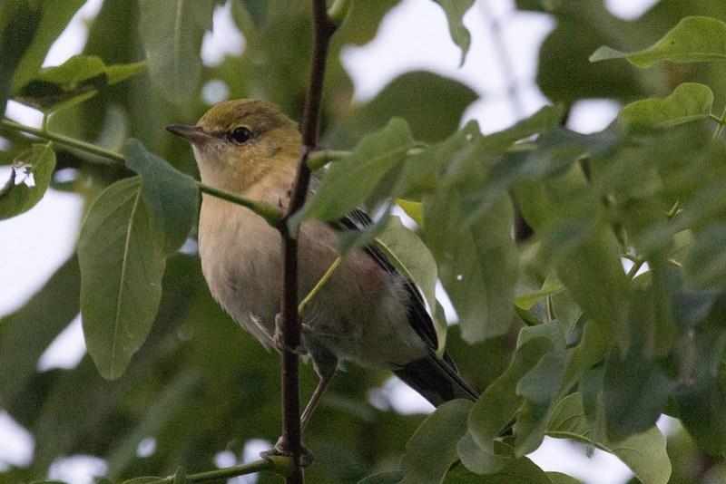_DSC0412 Bay-breasted Warbler