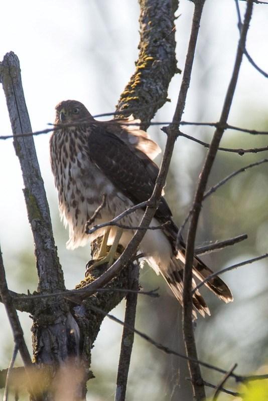 _DSC8001 Cooper's hawk