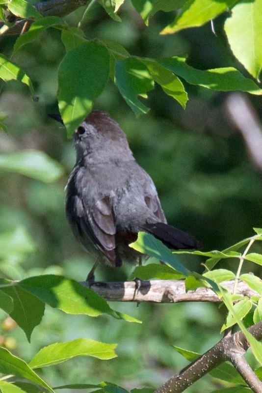 _DSC8185 Grey Catbird
