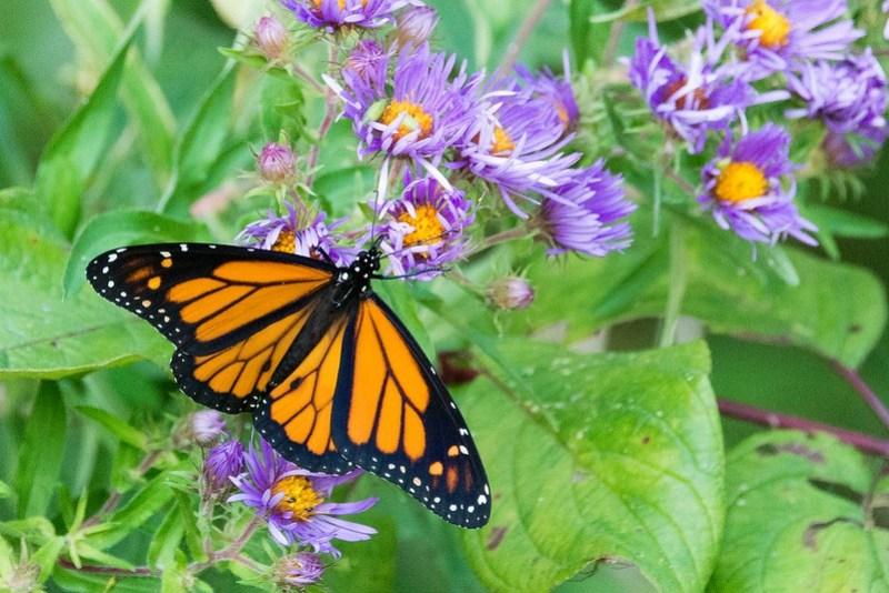 _DSC9614 Monarch Butterfly