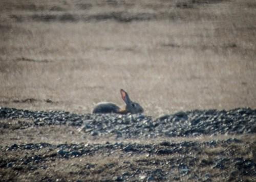 Wild Rabbits on San Juan Island