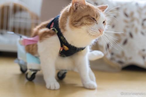 アトリエイエネコ Cat Photographer 36574316234_cc0e1bba56 高槻ねこのおうち 鈴ちゃんが旅立ちました 1日1猫!  高槻ねこのおうち 里親様募集中 猫 保護猫 cat