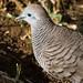 Pigeon, Mauritius