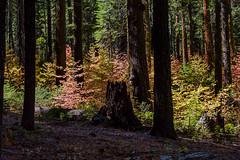Yosemite Fall Dogwoods
