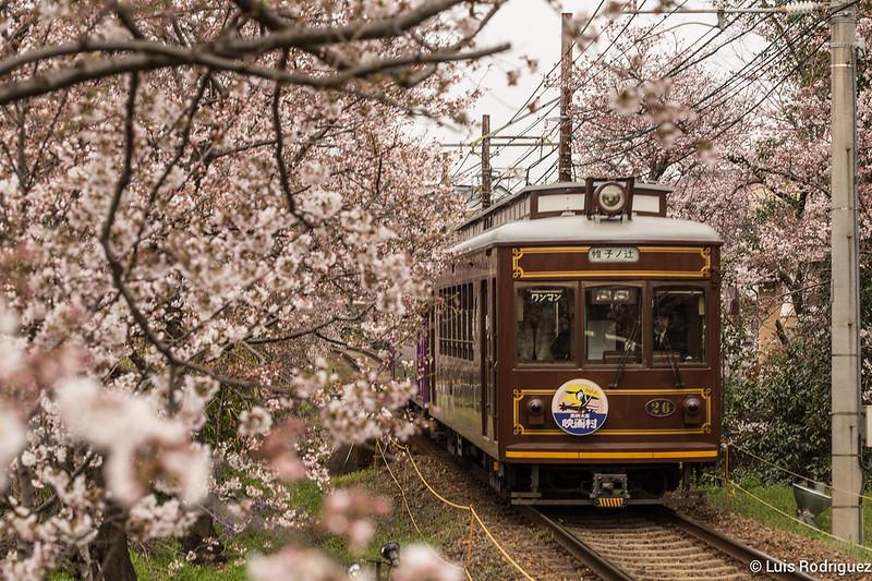 Fleurs de cerisier ou sakura à Kyoto
