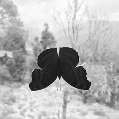Mariposa en mi ventana :white_small_square:Butterfly in my window