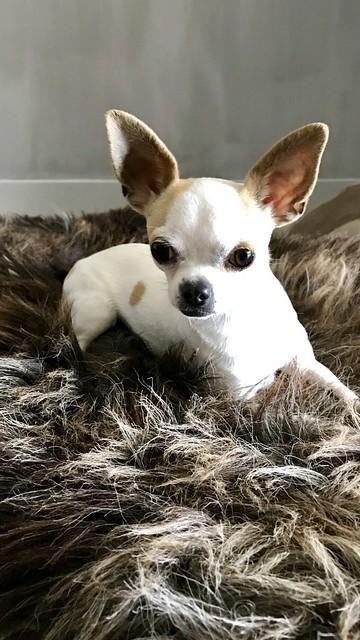 Chihuahua op vachtje