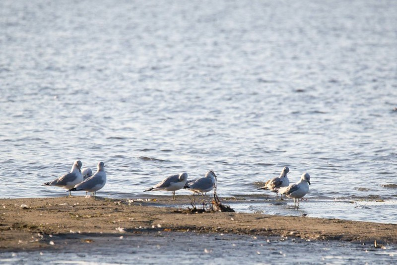 _DSC1025 Ring-billed gulls