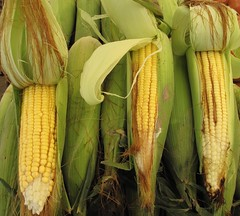 Corn - free for reuse image