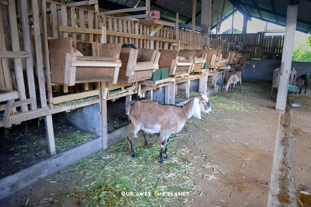 THE GOATARY: Dumaguete's World Class Sustainable Goat Dairy Farm