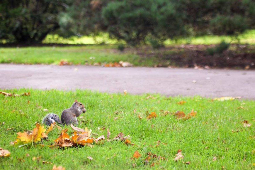A gray squirrel muching on an acorn, sitting on the grass, surrounded by yellow leafs, at Kew Gardens, London