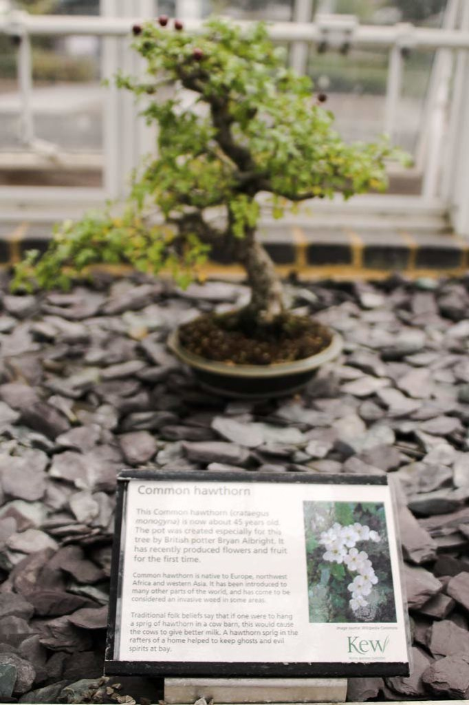 A view of the common hawthorn, a bonsai at Kew Gardens, London