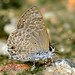 Pointed Ciliate Blue (Anthene lycaenina)