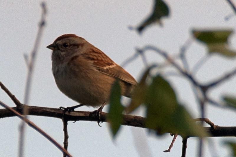 _8500757 American tree sparrow