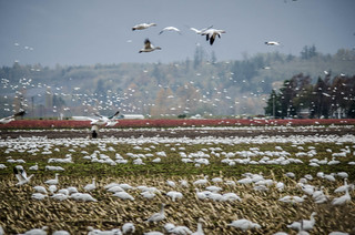 Migrating Snow Geese-17