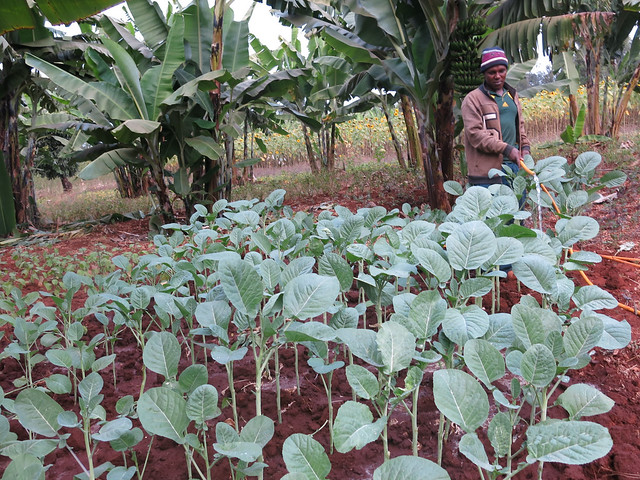 Vitalis Joseph a vegetable farmer from Bermi Village in Babati District, Tanzania watering his Ethiopian mustard vegetables. He is among the numerous smallholder farmers who have adopted elite vegetable varieties promoted by the Africa RISING project.