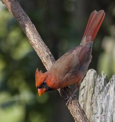 Cardinal #1004