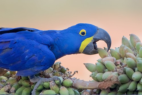 Hyacinth Macaw Grabbing the Palm Nut