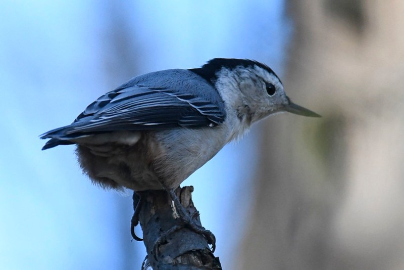 _8500604 White-breasted Nuthatch