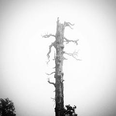 Tree in the fog :white_small_square:árbol en la niebla