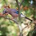 Jaybird - Eichelhäher