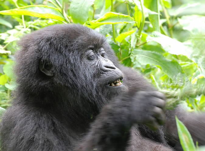 mountain-gorilla-feeding