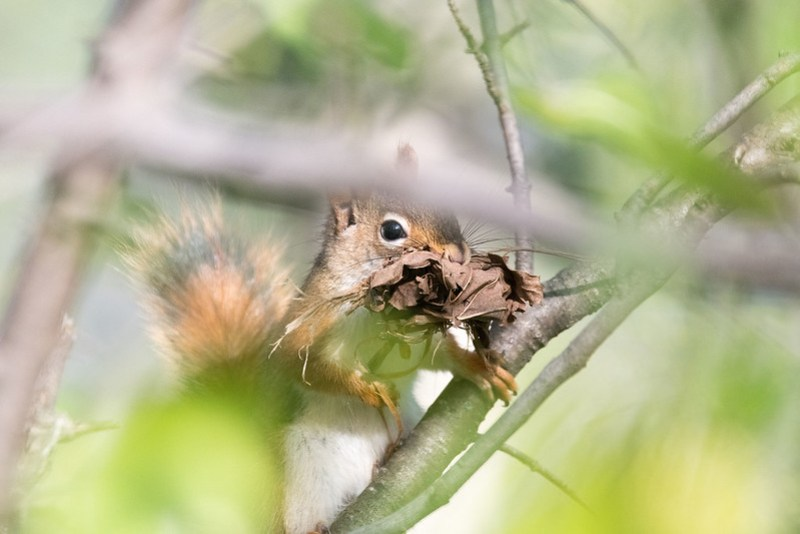 _8500751 Red Squirrel
