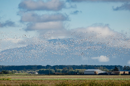 Snow Geese in the Skagit Delta-005