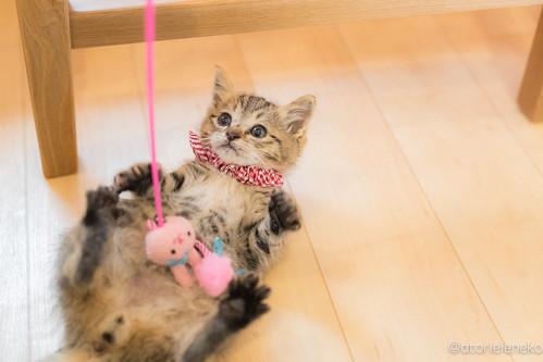 アトリエイエネコ Cat Photographer 37795776566_d96b9bcdd3 1日1猫!大ちゃんの里親様が決まりました♪ 1日1猫!  里親様募集中 猫 子猫 大阪 保護猫 ニャンとぴあ cat