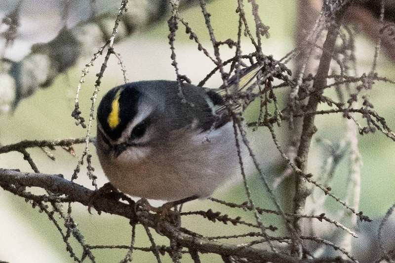 850_0191 Golden Crowned Kinglet