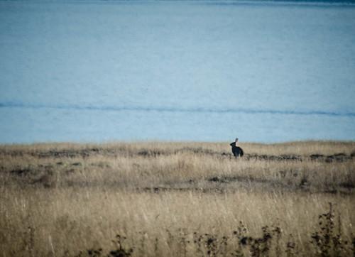 Wild Rabbits on San Juan Island-005