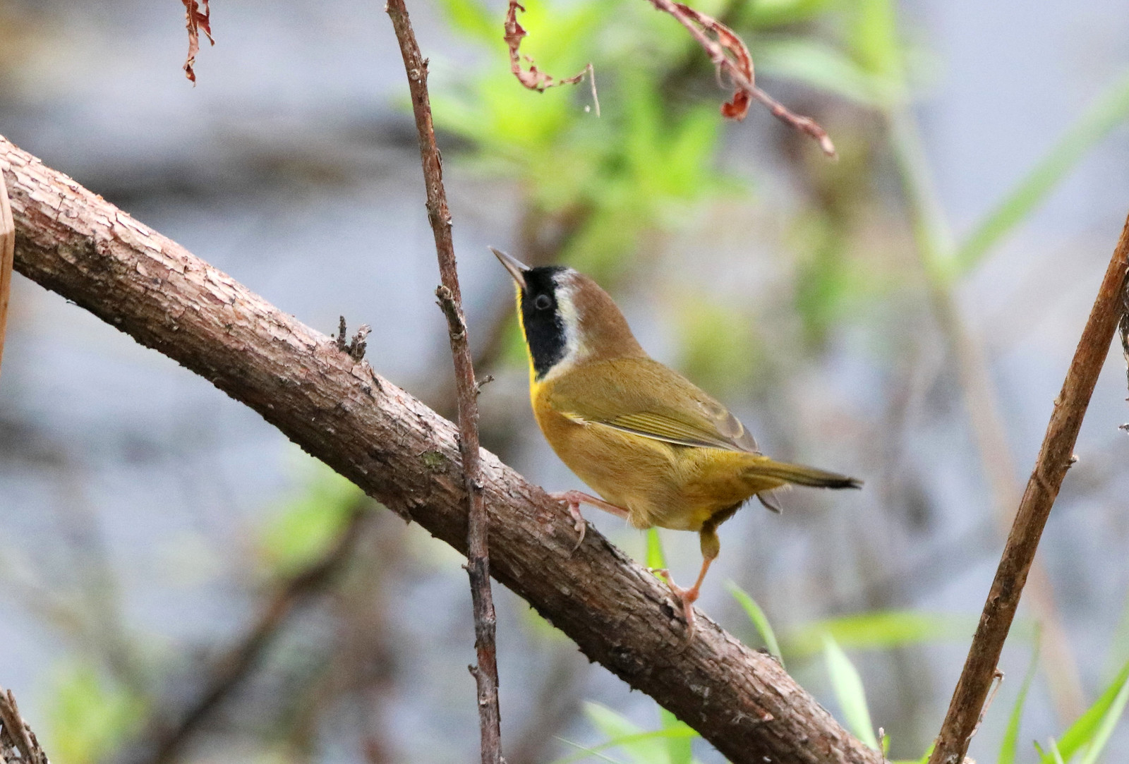 COMMON YELLOWTHROAT @ Circle Bar Reserve, Lakeland, Florida