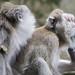 Monkeys , Mauritius