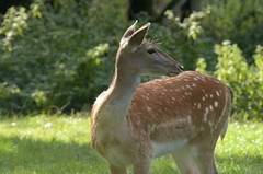A fallow doe on Phiz's estate