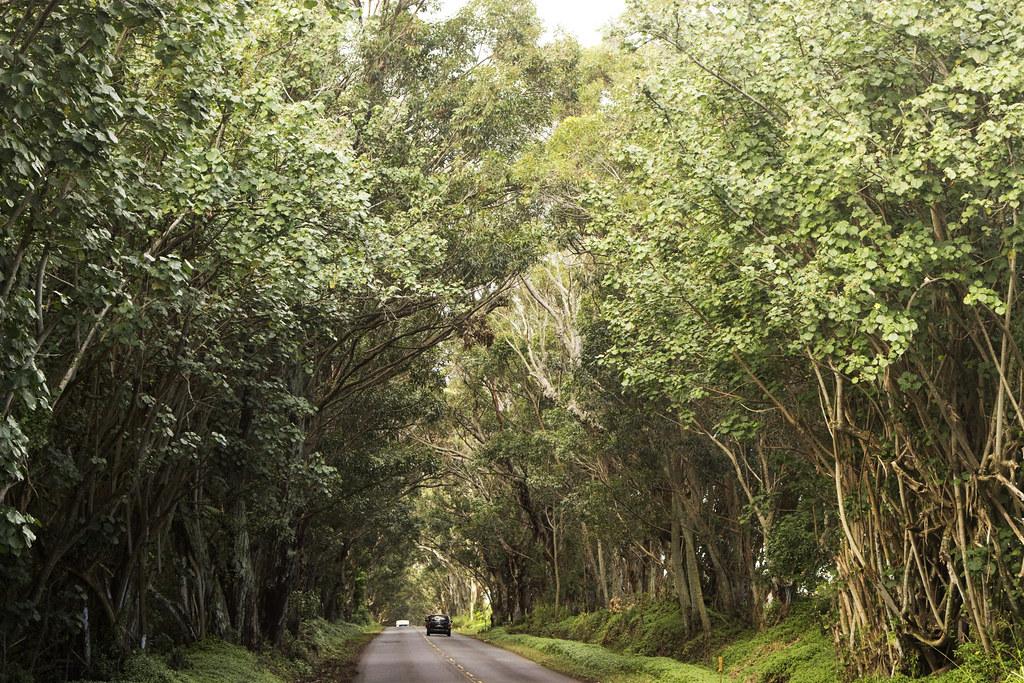 mile-long eucalyptus tree tunnel