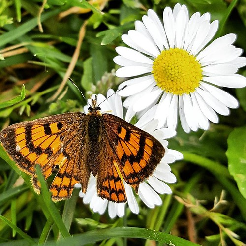 Glade Copper Butterfly with daisy