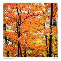 Maples, autumn