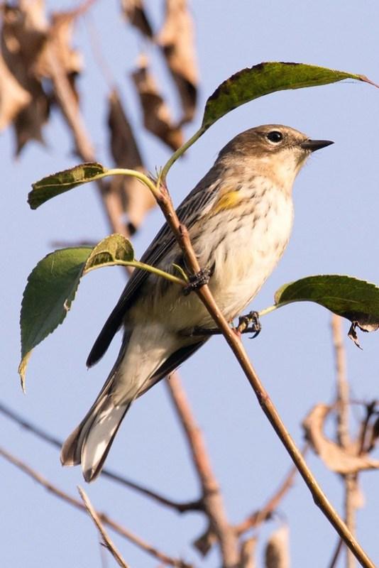 _DSC0045 Yellow-rump Warbler