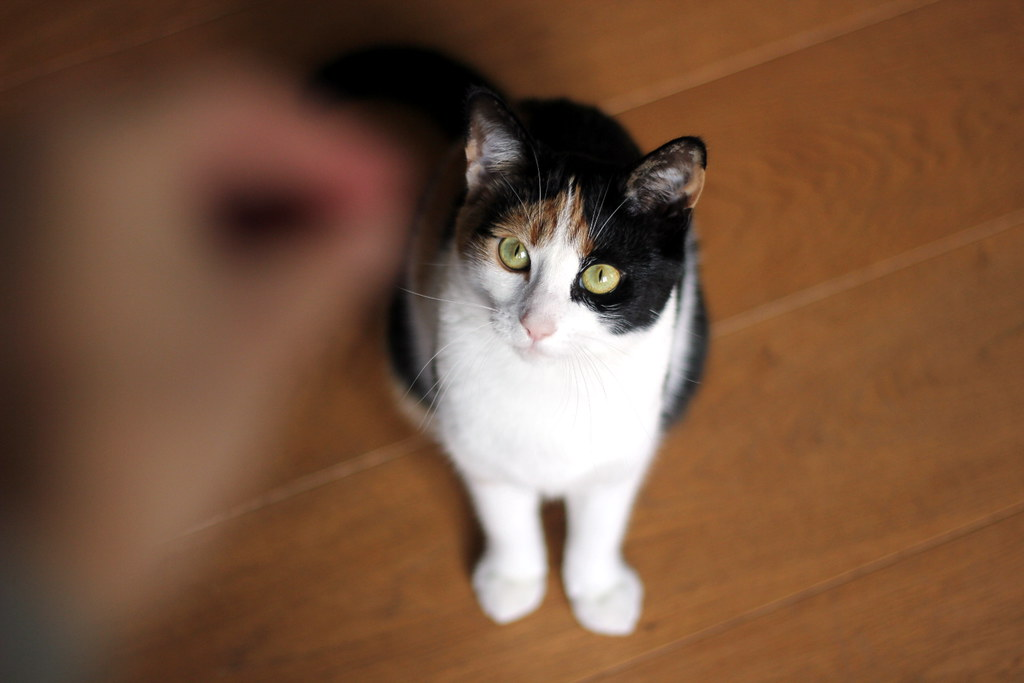 kissan_kouluttaminen