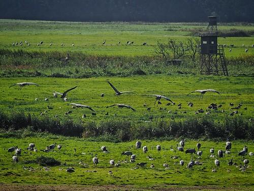 feeding cranes