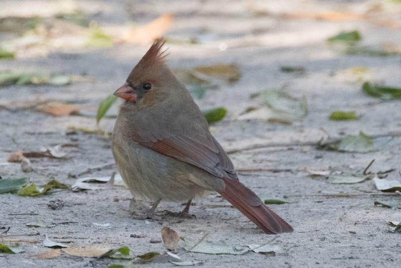 _8500990 Northern Cardinal (f)