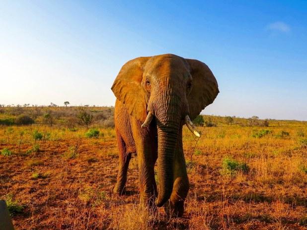 Elefante en Sudáfrica