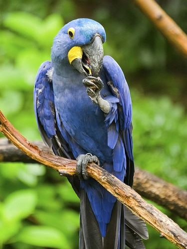 Nashville Zoo 08-21-2016 - Hyacinth Macaw 3