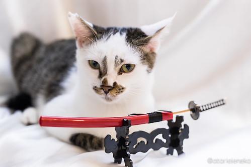 アトリエイエネコ Cat Photographer 26385530959_aa1fe55376 1日1猫!里親様募集中のタラちゃんです! 1日1猫!  里親様募集中 猫 子猫 大阪 保護猫 ニャンとぴあ おおさかねこ倶楽部 cat