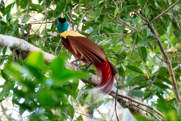 Red bird of paradise. Gam Island